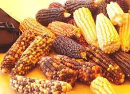 maíz- indigenismo